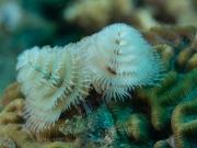 Tubeworm Mas Bango Reef, Oranjestad, Aruba, © 2016 Bob Hahn, OLYMPUS M.60mm F2.8 Macro at 60 mm, ISO: ISO 400 Exposure: 1/160@f/10