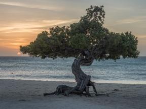 #BobHahnPhoto #GetOlympus #Aruba #Sunset #Beach #Nature #Nord #Caribbean #EagleBeach #DiviTree