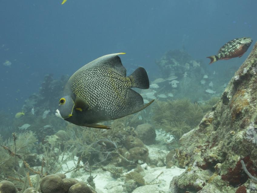 #BobHahnPhoto #GetOlympus #Oranjestad #Caribbean #Underwater #ScubaDiving #FrenchAngelfish