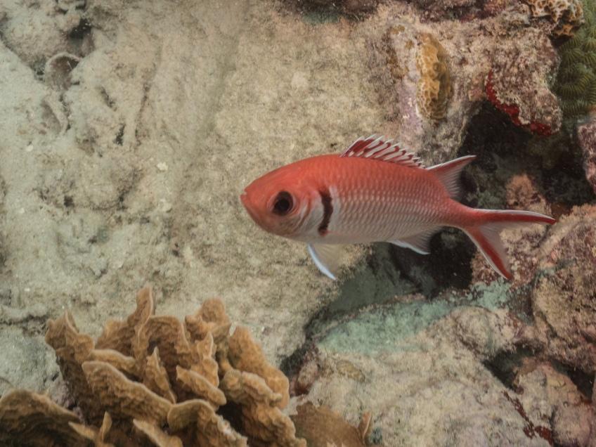 #BobHahnPhoto #GetOlympus #Oranjestad #Caribbean #Underwater #ScubaDiving #Squirrelfish
