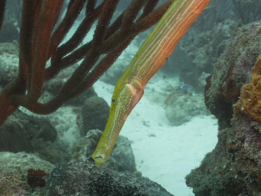 #BobHahnPhoto #GetOlympus #Oranjestad #Caribbean #Underwater #ScubaDiving #BarcaderaReef #Trumpetfish