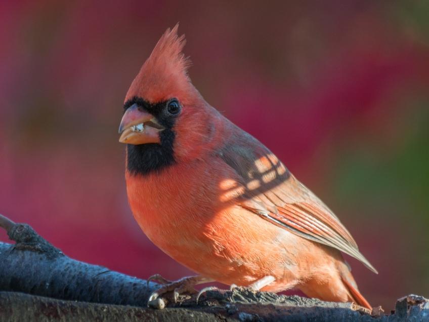 #Birds #Cardinal #GetOlympus #BobHahnPhoto