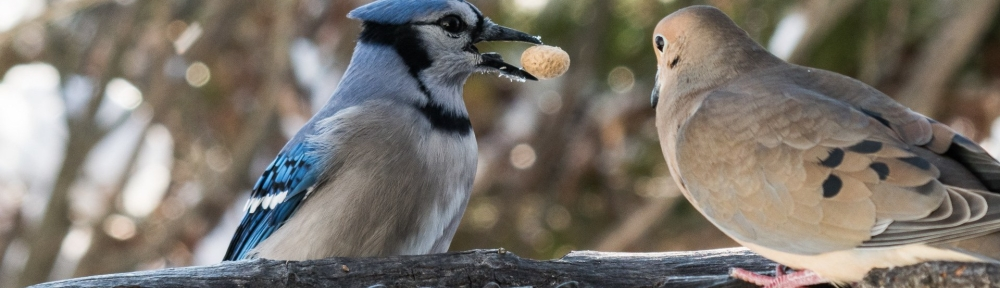 #Birds #BlueJay #BobHahnPhoto #GetOlympus #Bethlehem #PA