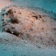 Flounder De Palm Reef, Oranjestad, Aruba © 2020 Bob Hahn, Olympus OM-D/E-M1 Mark ll Olympus M.12-40mm F2.8