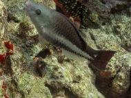 Queen Parrofish De Palm Reef, Oranjestad, Aruba © 2020 Bob Hahn, Olympus OM-D/E-M1 Mark ll Olympus M.12-40mm F2.8