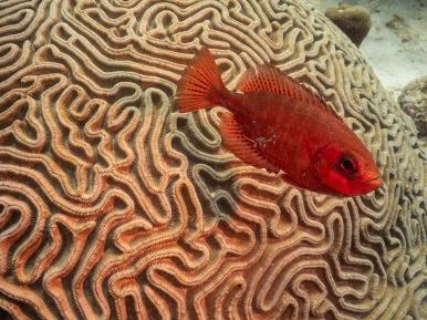 Bigeye Barcadera Reef, Oranjestad, Aruba © 2020 Bob Hahn, Olympus OM-D/E-M1 Mark ll Olympus M.12-40mm F2.8