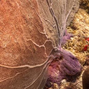 Fan Coral Barcadera Reef, Oranjestad, Aruba © 2020 Bob Hahn, Olympus OM-D/E-M1 Mark ll Olympus M.12-40mm F2.8