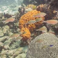 Smallmouth Grunt Barcadera Reef, Oranjestad, Aruba © 2020 Bob Hahn, Olympus OM-D/E-M1 Mark ll Olympus M.12-40mm F2.8