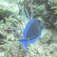 Blue Tang Harbor Reef, Oranjestad, Aruba © 2020 Bob Hahn, Olympus OM-D/E-M1 Mark ll Olympus M.12-40mm F2.8
